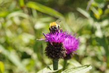 Close-up Of A Bumblebee Pollin...