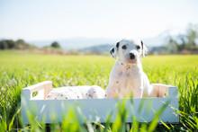 Perritos Dálmatas Recién Nacidos En El Campo Jugando