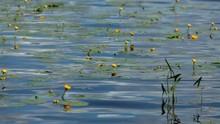 Yellow Spatter Dock Flower On Blue Water