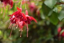 Red Flower In Garden Fuchsia Flower Pink