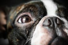Portrait Boston Terrier Pure Breed Soft Dark Background Closeup