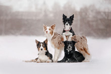 Adorable Border Collie Dogs Posing Outdoors In Winter