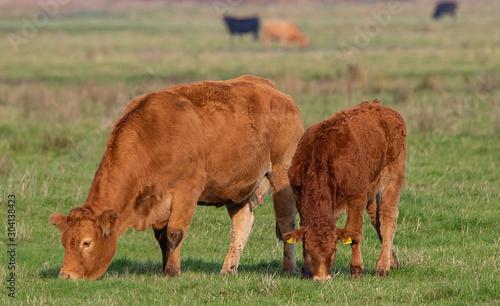 Fototapeta Cattle Grazing on marshland