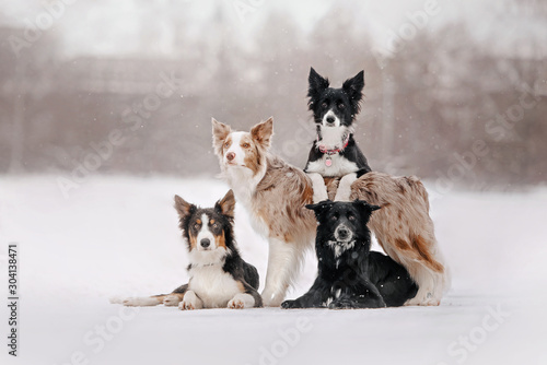 Photo adorable border collie dogs posing outdoors in winter