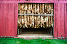 Harvested Tobacco