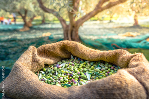 Fototapeta Harvested fresh olives in sacks in a field in Crete, Greece for olive oil production, using green nets. obraz