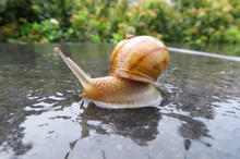 Snail On The Stone After Rain