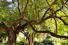 Colossal And Majestic Trees In...