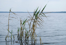 Reeds On The Estuary.