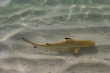 Baby Black Tip Shark At The Beach