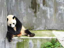 Sad, Lonely And Sleeping Panda Bear Sitting In A Concrete Enclosed Pen, Chengdu, China