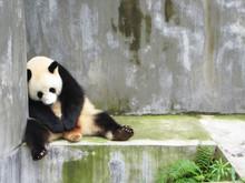 Sad, Lonely And Sleeping Panda...