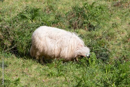 Scottish blackface sheep grazing in a field Canvas Print