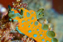 Orange Nudibranch