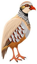 Vector Illustration Of A French (or Red-Legged) Partridge.