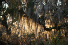 Spanish Moss On A Live Oak Tree In The Sunshine