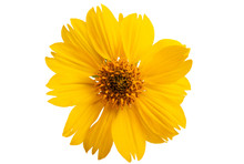 Coreopsis Flower Isolated