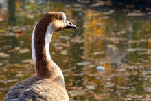 Chinese Goose In Closeup With ...