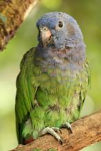 Blue-headed Parrot, Pionus. M....