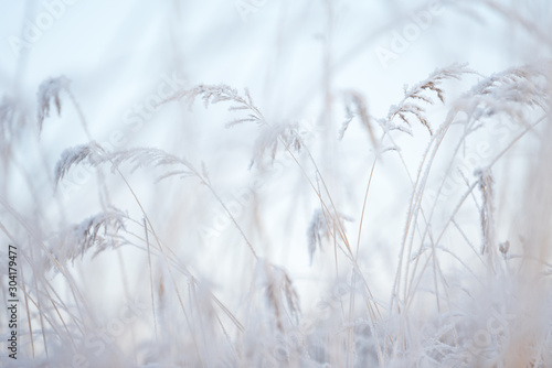 Garden Poster White Frost covered grasses in winter landscape, selective focus and shallow depth of field