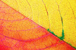 canvas print picture - Photo of bright red and yellow autumn leaf. Macro photography. Flat lay