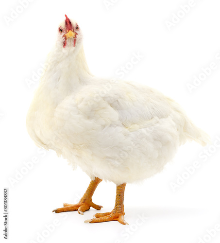 Fotografia, Obraz white hen isolated.