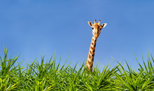Giraffe Head And Neck From The Grass Over Blue Sky