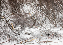 Willow Ptarmigan Hiding In Tundra
