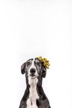 Greyhound With Christmas Gift ...