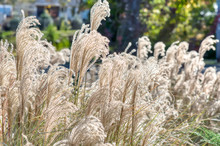 A Closeup Of Plumes Of A White Ornamental Grass In A Park.