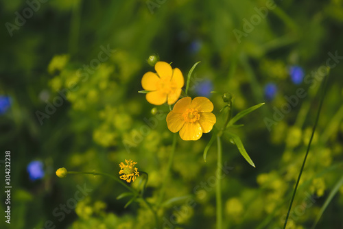 Yellow flowers close up in summer. Ranunculus acris. Canvas Print