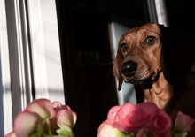 Muzzle Dachshund Looks Out Of ...