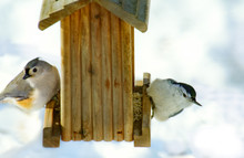 Two Birds, A Tufted Titmouse, ...
