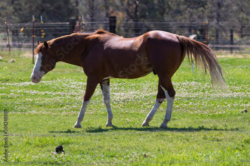 Horse in the field. Oregon, U.S.A.
