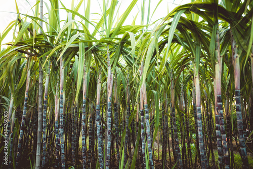 Fotografiet Sugarcane plants growing at field