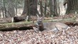 Young white-tailed deer buck in the woods