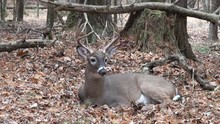 White-tailed Buck Bedded In Th...