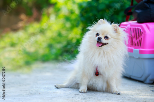 Photo  Dog breed miniature spitz