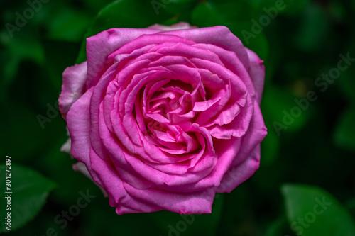 dense bright pink rose bloom