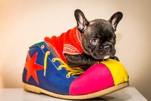 French Bulldog Puppy On Clown ...