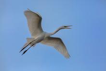 Great Egret (Ardea Alba) In Fl...