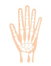 Hand Bone Flat Vector Illustration (human Anatomy) / No Text