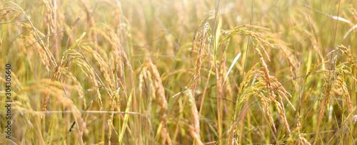 Fotografía Ear of rice in the field