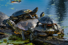 Western Painted Turtles Juanit...