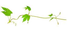 Natural Fresh Hop Plant Vine I...