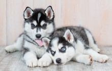 Siberian Husky Puppies Lie On ...