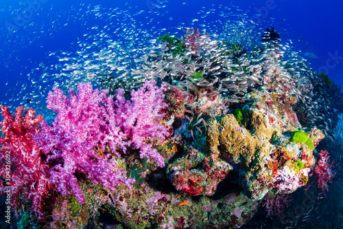 Fototapety, obrazy: A beautiful, colorful tropical coral reef in Thailand's Similan Islands