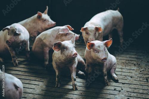 Obraz pig farm industry farming hog barn pork - fototapety do salonu