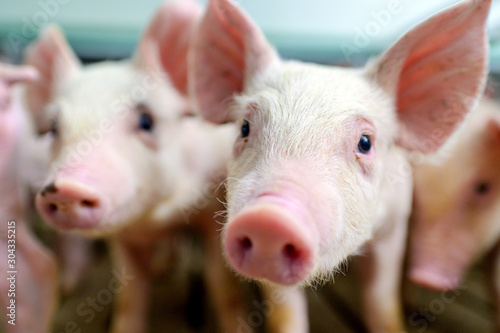 pig farm industry farming hog barn pork Fotobehang