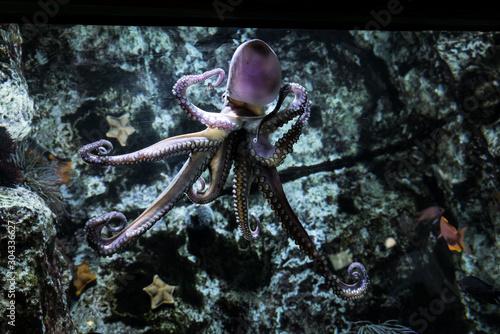Ośmiornica pływająca w rafie koralowej